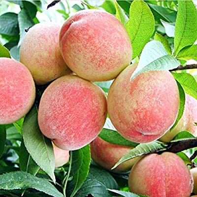 Bullker Kolefei 50Pcs Seeds Juicy Delicious Fruit Tree Garden Yard Bonsai Plant for Home Peach Seeds : Garden & Outdoor