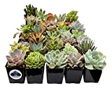 Fat Plants San Diego Premium Succulent Plant Variety Package. Live Indoor Succulents Rooted in Soil in a Plastic Growers Pot (30)