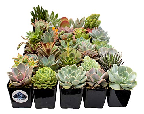 Fat Plants San Diego Premium Succulent Plant Variety Package. Live Indoor Succulents Rooted in Soil in a Plastic Growers Pot (30) by Fat Plants San Diego (Image #2)