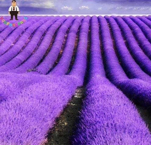 Shopmeeko 200Pcs Provence Lavender Seeds Fragrant/&Beautiful Flower Seeds Imported Vanilla Potted Bonsai Easy Growth for Garden Seeding