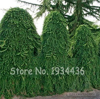Amazon.com : Konato - 50 Pcs Climbing Spruce Picea Tree Bonsai Potted Pine Grove Evergreen for Home Garden DIY Pungens Glauca Christmas Adornment - (Color: Q4) : Garden & Outdoor