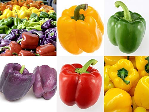 Rainbow Bell Peppers Mix - Purple, Chocolate, Green/Red, Yellow, Orange - 20 Seeds Each by RDR Seeds