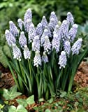 Muscari Armeniacum 'Valerie Finnis' - Grape Hyacinths - Pack of 50 Bulbs