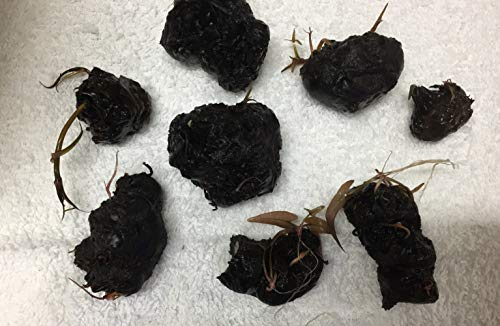 (3 Pieces Nymphaea Rubra Bulb Dwarf Water Lily Live Aquarium Plants L127/3)