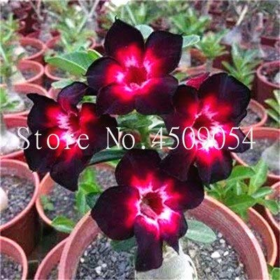 Seed - NOT Plant - Best Quality - Bonsai - Desert Rose Bonsai Potted Flowers Bonsai Adenium Obesum Indoor Bonsai Plant Mini Potted Tree for Home Garden Plant 2Pcs for Sale - by SeedWorld - 1 PCs: Garden & Outdoor