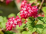 """1 - Red Flowering Currant Plants - (Ribes sanguineum) - 16""""- 20"""" Potted Plants"""