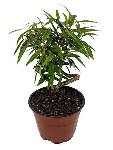 Stylized Bamboo Leaf Weeping Fig Tree - Easy Houseplant - 4