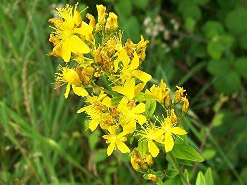 Semillas de hierba de San Juan - Hypericum perforatum - 1800 ...