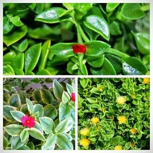 Lot Set of 3 Colors Baby Sun Rose Jewel Heart Leaf Ice Plant Aptenia Cordifolia]()