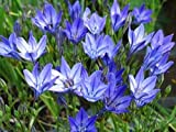 Queen Fabiola Brodiaea - 15 Bulbs 5/6cm -Triteleia- Starflowers
