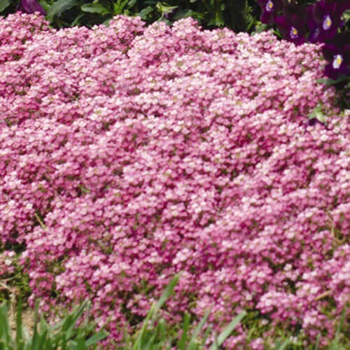 Outsidepride Alyssum Deep Pink Ground Cover Seed - 2000 Seeds