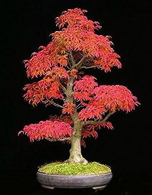 (Japanese Red#4040) 40 Mini Beautiful Japanese Red Maple Bonsai Seeds,diy Bonsai * Japan Maple NEW Seeds * Japanese Maple Tree Seeds