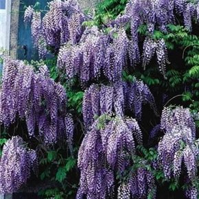 Climbing Vine Shade (Chinese Species Blue Wisteria-Vine-Tree-Fragrant-Flowering-2 Pack)