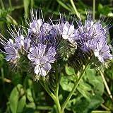 Outsidepride Lacy Phacelia - 5000 Seeds