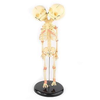 1 ZYT Suministros 1 fetal Humano Infantil del beb/é M/édico Cr/áneo anat/ómico Esqueleto Modelo de ense/ñanza para la Ciencia m/édica