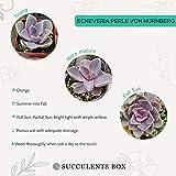 Echeveria Perle Von Nurnberg Succulent Purple