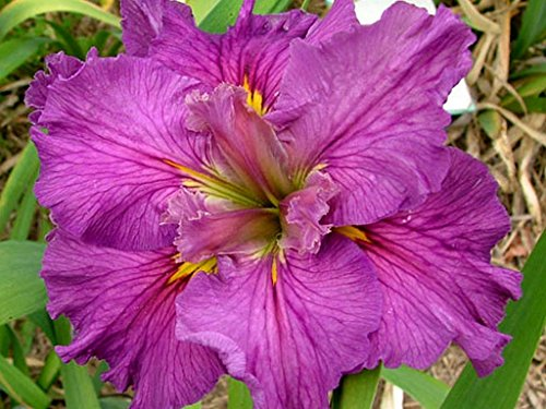 CYCLAMINT Louisiana Iris Live Plant Bog Water Shade Garden Purple Yellow Flower Starter Size 4 Inch Pot Emeralds TM Hybrid Full Range