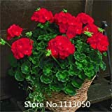Promotion A Package 100 Pieces White & Red Edge Geranium Seeds, Perennial Flower Seeds Pelargonium Peltatum Flowers seeds for Ro