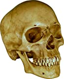 Human Skull Replica - Life Size Model Reproduction - Dirty Antique Relic Color by Nose Desserts Brand
