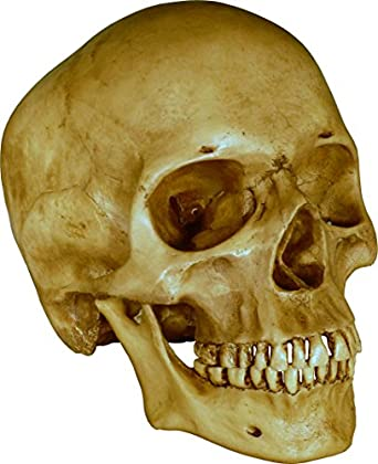 Human skull replica with attached articulating mandible jaw life human skull replica with attached articulating mandible jaw life size model reproduction dirty ccuart Images