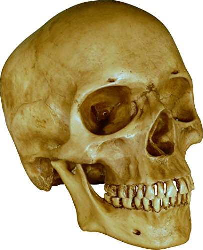 Human Skull Replica - with attached articulating Mandible jaw - Life Size Model Reproduction - Dirty Antique Relic Color by Nose Desserts Brand