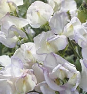 Sweet Pea - Kings High Scent - 25 Seeds