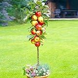 50 Actinidia Deliciosa/Cherry/Apple/Orange Seed Fruit Bonsai Seeds Indoor/Outdoor Houseplant (Apple)