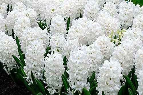 6 Carnegie White Hyacinth Bulbs Quality Blooming Size 12-17 cm Fall Planting by thecountrygardenshop