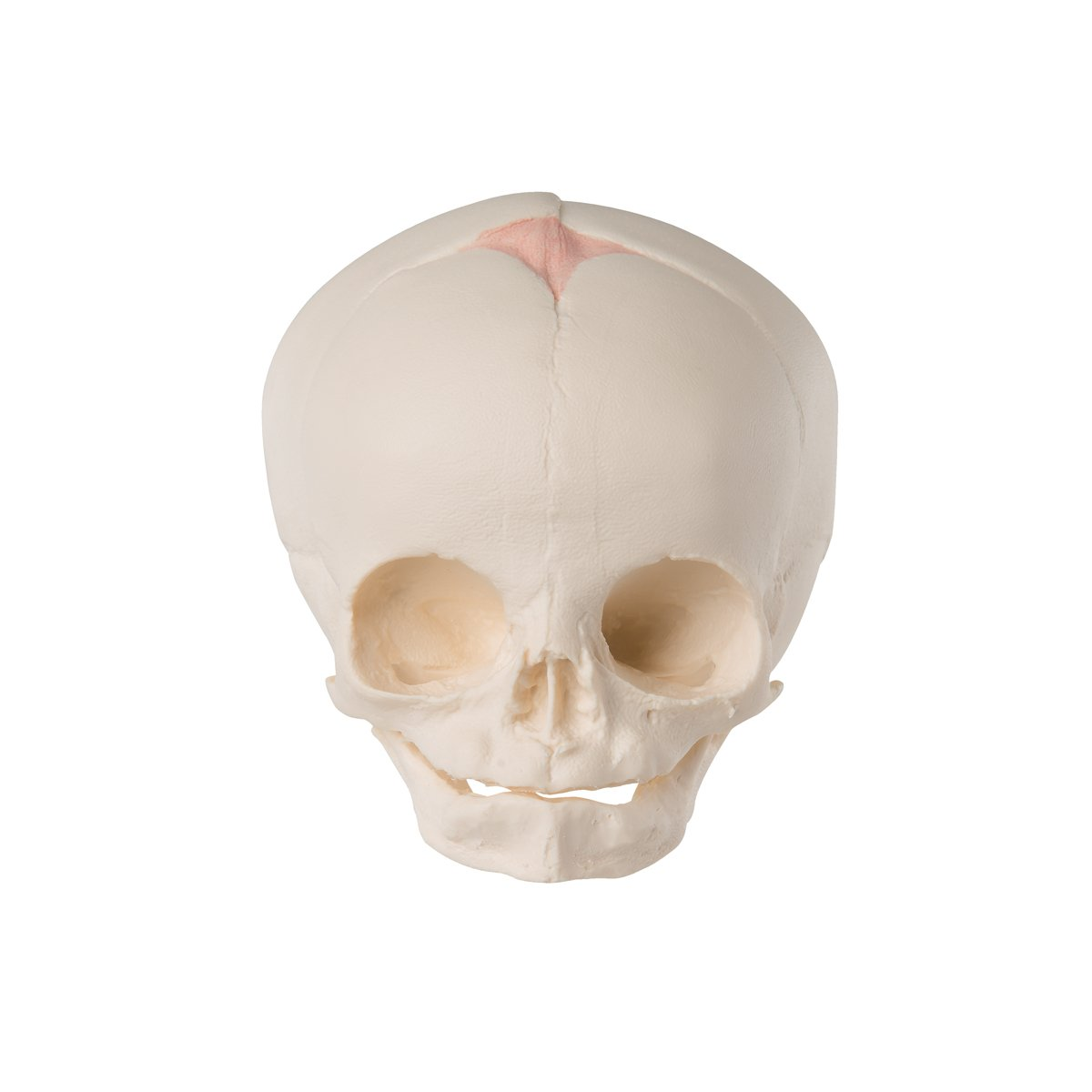 Buy 3B Scientific Fetal Skull Online at Low Prices in India - Amazon.in