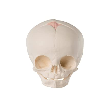 Buy 3b Scientific Fetal Skull Online At Low Prices In India Amazon
