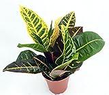 Cheap Shop Succulents Colorful Croton 4″ Pot Easy to Grow House Plant