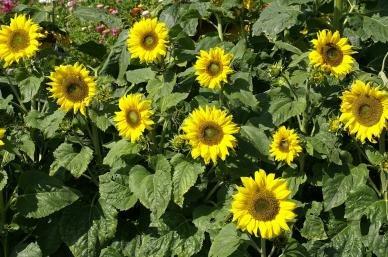 arts sunflower seeds - 3