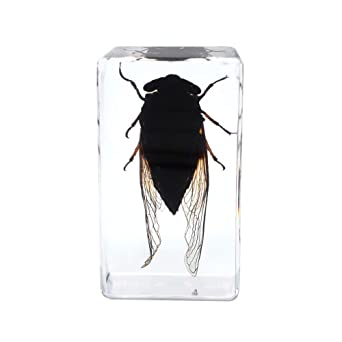 Beetle insect embedded Paperweight Specimen Taxidermy Paperweight Collection
