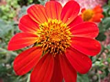 Mexican Sunflower Tithonia Rotundifol ia Red Torch Flower Garden Heirloom 150 Seeds