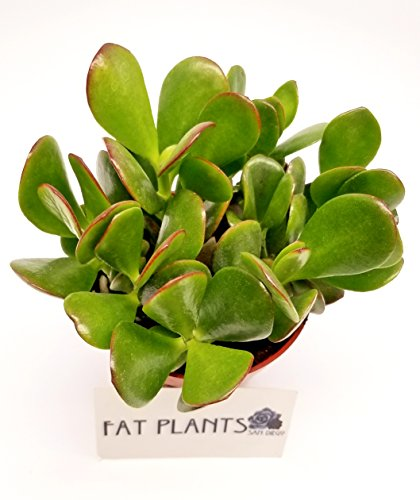 Buy large jade plants