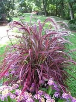 Fireworks Fountain Grass Pennisetum setaceum Pinkish Purple, 10 seed