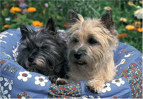 Toy Cairn Terrier - Cairn Terrier 300 Piece Jigsaw Puzzle