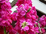 Matthiola Incana Perfume Plant Gillyflower Night Scented Pink Heirloom 500 Seeds