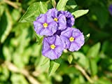 Home Comforts Laminated Poster Lycianthes Rantonnetii Lycianthes Solanum Rantonnetii Poster Print 24 x 36