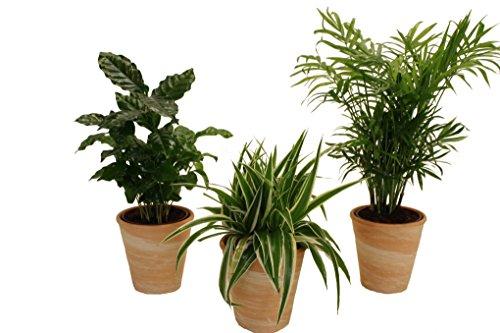 Pflanzenservice 890906 Indoor-Trio, Kaffee-Pflanze, Grünlilie und Zimmerpalme jeweils mit Dekotöpfen, terrakottafarben