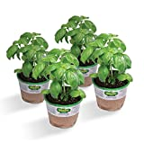 #4: Bonnie Plants Sweet Basil (Genovese) (4 Pack) Live Plants