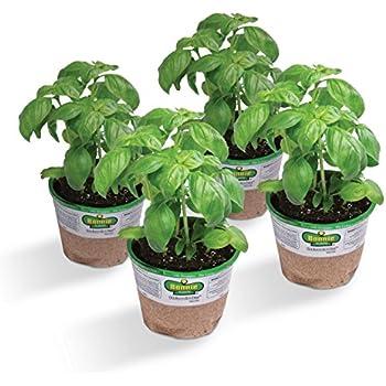 Bonnie Plants 4P5010 Sweet (Genovese) Basil (4), 4-PACK