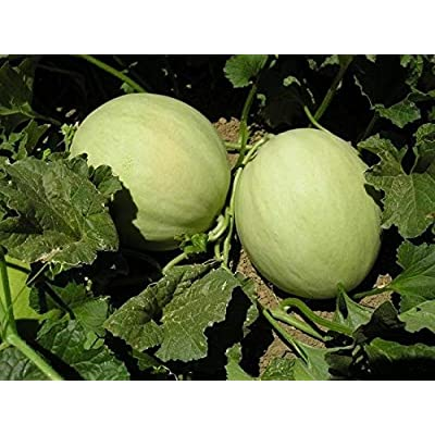 1/4LB or 4000 Seeds Honeydew Green Flesh Melon Seeds, Non-GMO : Garden & Outdoor
