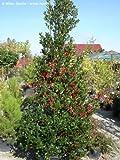 """Ilex aquifolium """" Pyramidalis """""""