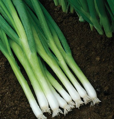 David's Garden Seeds Bunching Onion Evergreen Hardy White D502A (White) 500 Organic Seeds