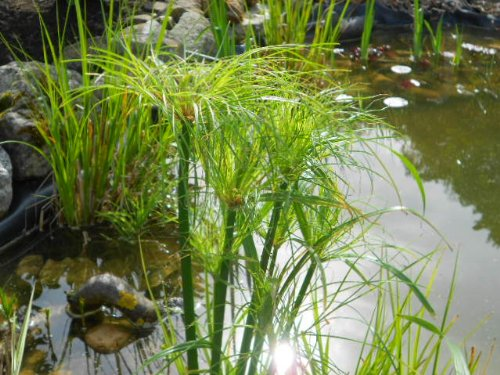 - Real Papyrus, Cyperus Papyrus, Fresh Seeds, Eye-catching At the Pond 20 Seeds