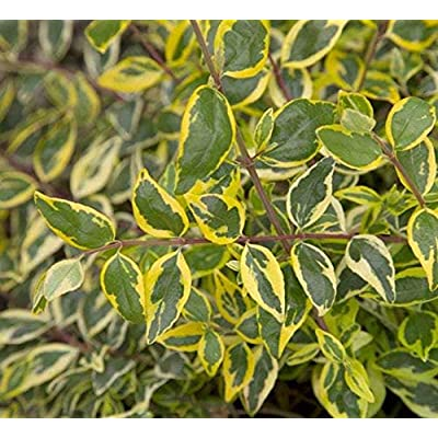 AchmadAnam - Live Plant - Miss Lemon Abelia - 1 Plant - 1 Feet Tall - Ship in 1 Gal Pot. E9 : Garden & Outdoor
