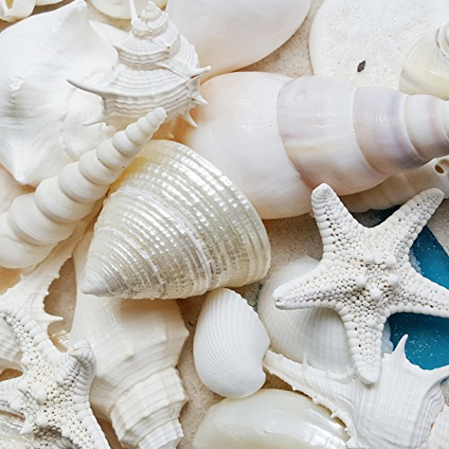 Tumbler Home White Seashells with Sea Glass - Home Decor Wedding Luxury Sea Shell Mix, Christmas or Crafts - 30+ Shells (Shell Turritella)