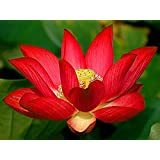Bonsai Lotus / Wasser Lily Blume Bowl-Pond 5 Frische Samen / Rot Lotus