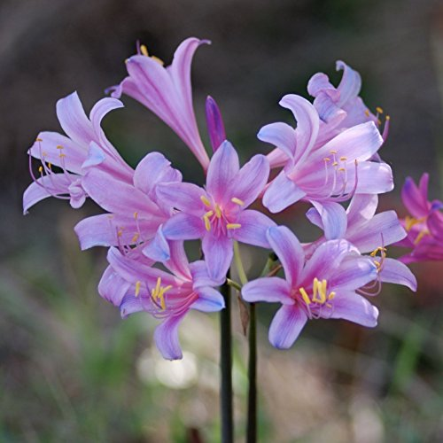 (Mytree Lycoris Electric Blue Sprengeri - Surprise Lilies - 2 Large Bulb - 12+ cm)